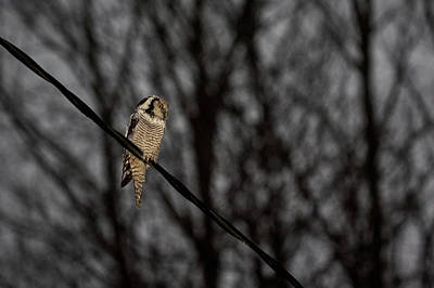 Photograph - Northern Hawk-owl 22 by Jouko Lehto