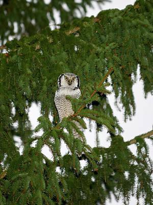 Photograph - Northern Hawk-owl 24 by Jouko Lehto