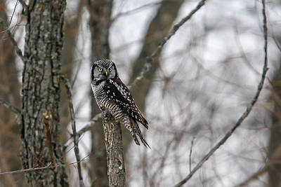Photograph - Northern Hawk Owl 3 by Gary Hall