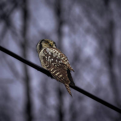 Photograph - Northern Hawk-owl 6 by Jouko Lehto