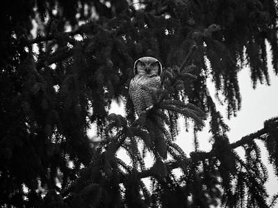 Photograph - Northern Hawk-owl 77 by Jouko Lehto