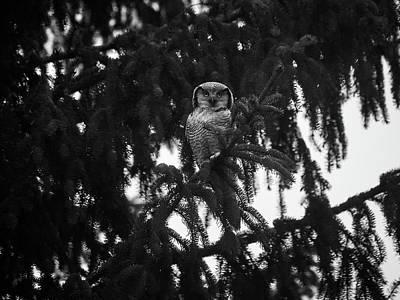 Photograph - Northern Hawk-owl 77 by Jouko Lehto