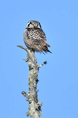 Photograph - Northern Hawk Owl by Alan Lenk