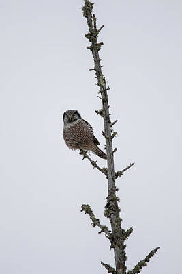 Photograph - Northern Hawk Owl by Brook Burling