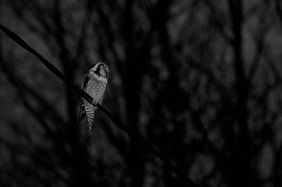 Photograph - Northern Hawk-owl Bw18 by Jouko Lehto