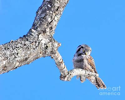 Photograph - Northern Hawk Owl by Debbie Stahre