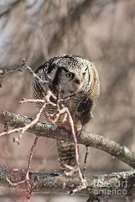Namaste With Pixels - Northern hawk owl having lunch 9450 by Joseph Marquis