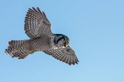 Art Print featuring the photograph Northern Hawk Owl Hunting by Mircea Costina Photography