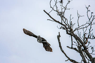 Photograph - Northern Hawk Owl In Flight by Gary Hall