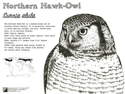 Drawing - Northern Hawk-owl Infographic Poster by Marcus England
