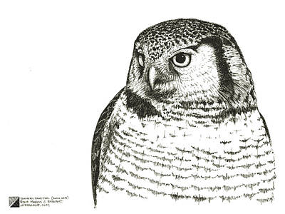 Drawing - Northern Hawk-owl by Marcus England