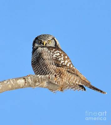 Photograph - Northern Hawk-owl On Limb by Debbie Stahre
