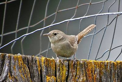 Photograph - Northern House Wren by Barbara St Jean