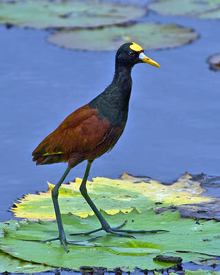 Roca Photograph - Northern Jacana by Larry Linton