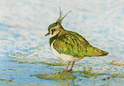 Lapwing Drawing - Northern Lapwing by John Birnie