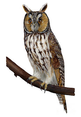 Northern Long-eared Owl Asio Otus - Hibou Moyen-duc - Buho Chico - Hornuggla - Nationalpark Eifel Art Print