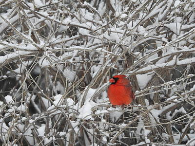 Photograph - Northern Male Cardinal by Betty-Anne McDonald