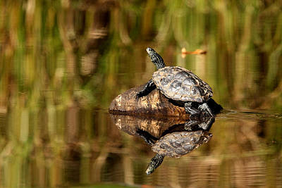 Photograph - Northern Map Turtle by Debbie Oppermann