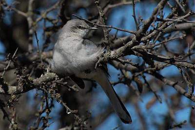 Photograph - Northern Mockingbird by Frank Madia