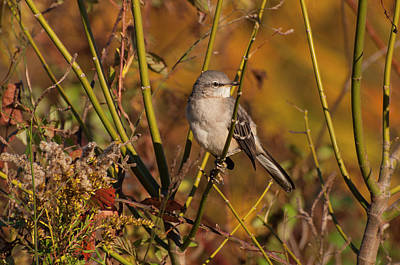 Photograph - Northern Mockingbird 2 by Chris Flees
