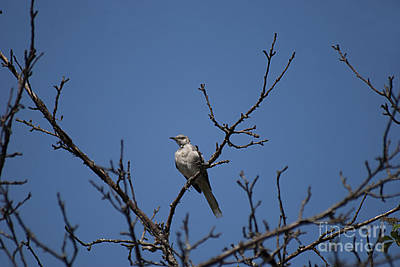 Photograph - Northern Mockingbird 20130829_129 by Tina Hopkins