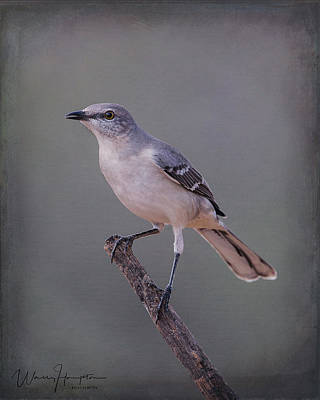 Photograph - Northern Mockingbird - 7133,st by Wally Hampton