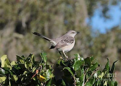 Northern Mockingbird Print by Carol Groenen