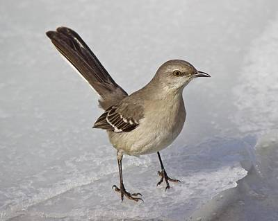 Photograph - Northern Mockingbird by David Pickett