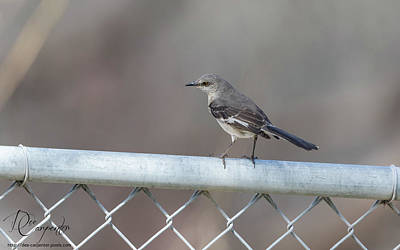 Photograph - Northern Mockingbird by Dee Carpenter
