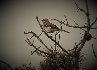 Photograph - Northern Mockingbird In Black And White by Karen Silvestri