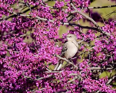 Photograph - Northern Mockingbird by KJ Swan