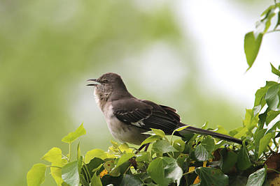 Photograph - Northern Mockingbird by Living Color Photography Lorraine Lynch