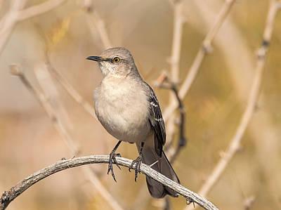 Photograph - Northern Mockingbird by Loree Johnson