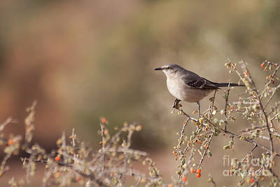 Photograph - Northern Mockingbird On A Branch  by Ruth Jolly