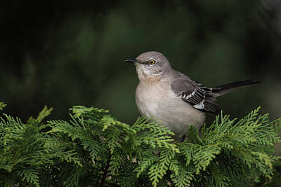 Wall Art - Photograph - Northern Mockingbird by Phil Thach