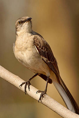 Photograph - Northern Mockingbird by Theo O'Connor