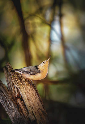 Photograph - Northern Nuthatch by Bob Orsillo