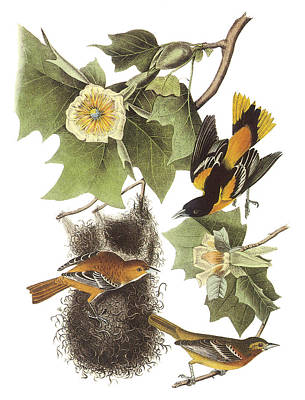 Oriole Painting - Northern Oriole by John James Audubon