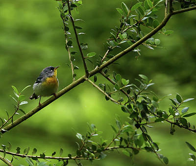 Photograph - Northern Parula by Judy Vincent