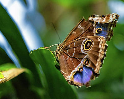 Photograph - Northern Pearly-eye Butterfly by Joseph Caban