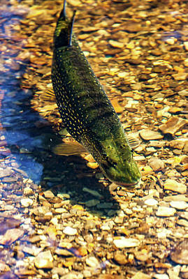 Photograph - Northern Pike by Richard Engelbrecht