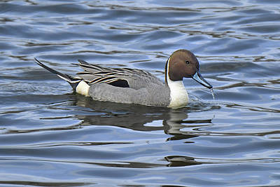 Photograph - Northern Pintail by Alan Lenk