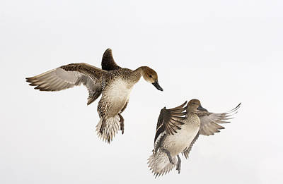 Two Ducks In Flight Photograph - Northern Pintail Anas Acuta Duck by Wim Weenink