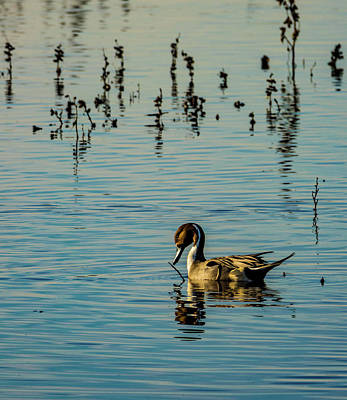 Northern Pintail At The Wetlands Art Print