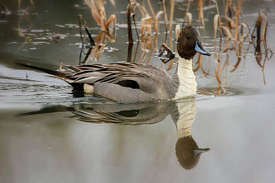 Photograph - Northern Pintail by Craig Strand