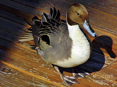 Nature Photograph - Northern Pintail by D Hackett