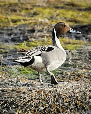 Photograph - Northern Pintail by Dawn Currie