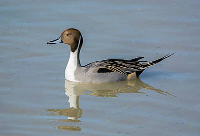 Photograph - Northern Pintail Drake by Loree Johnson