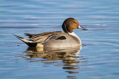 Photograph - Northern Pintail Duck by Mark Miller