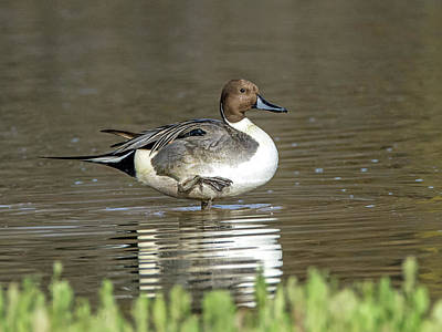 Photograph - Northern Pintail Duck by Tam Ryan